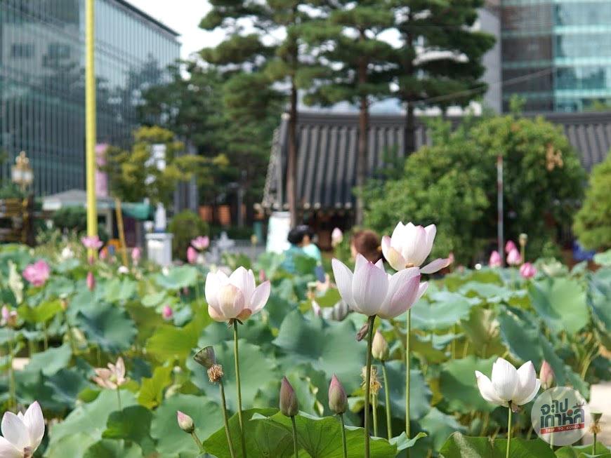 ดอกบัว ในวัดโชเกยซา